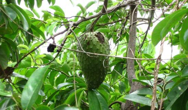 Jamaica Series - Soursop - Nothing Sour About It And It Has Anti-Cancer Properties