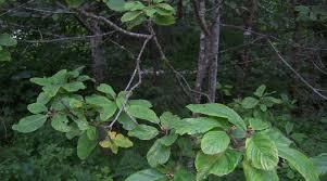 Cascara Sagrada AKA Sacred Bark Herb