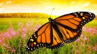 Monarch Butterfly Life Cycle During Yearly Migration