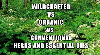Wildcrafted Vs Organic Vs Conventional Herbs And Essential Oils