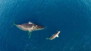 Humpback Whale And Calf Play In Their Backyard - Video