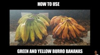 How to Use the Green and Yellow Burro Banana? Dr. Sebi Electric Alkaline Foods