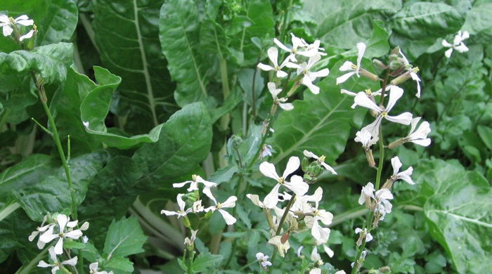 Rocket Salad - Arugula Plant and Flower