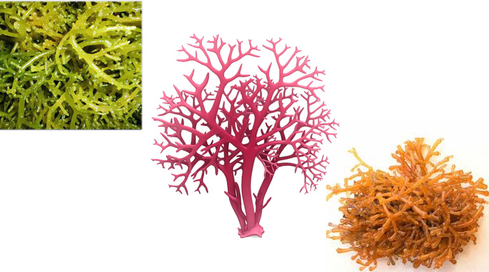 Gracilaria Sea Moss Red Algae 2