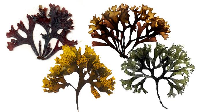 Different Colors Chrondus crispus