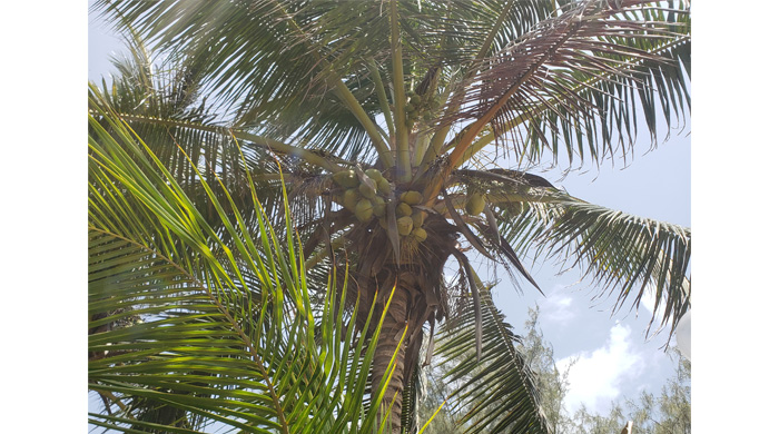 Coconut Tree With Green Coconuts